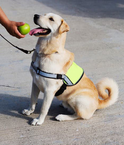 Lab mixed dog on duty as a service dog with a yellow vest