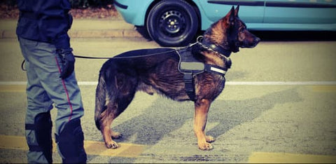 Training a belgian malinois to obey instructions