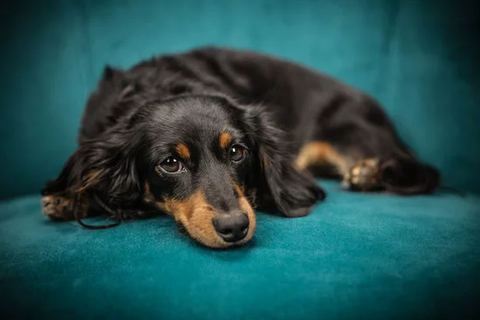 Black and brown dachshund laying on a teal chair