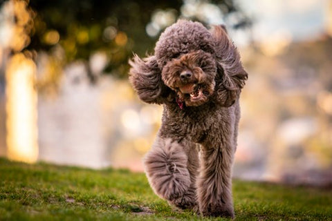 Brown Poodle Walking through a park happily
