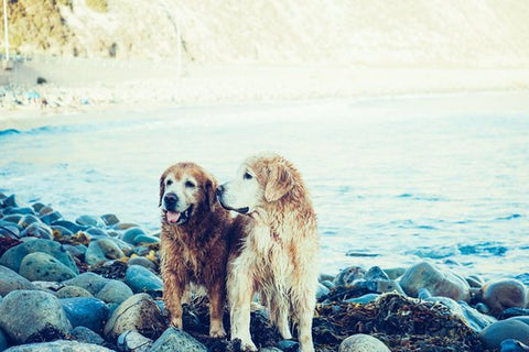Two wet Golden Retrievers on the rocky shore of a lake