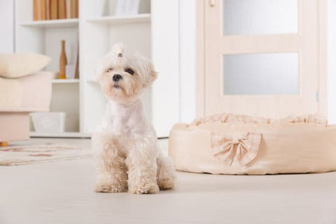 Maltese sitting in a white modern room with a dog bed next to it