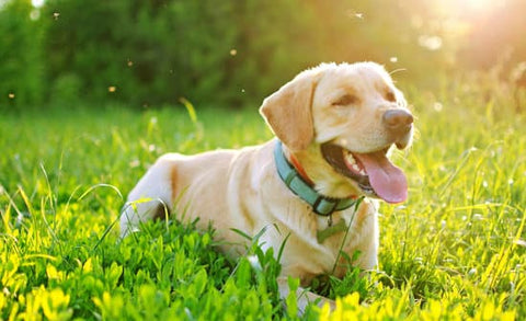 Yellow Lab in a tall grass field