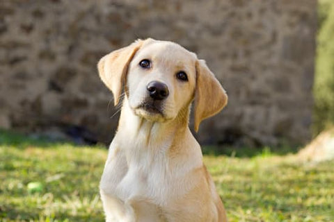 Yellow Lab Puppy Sitting in grass