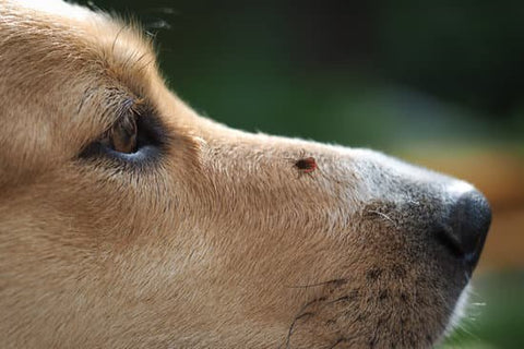 Labrador with a tick crawling on its snout