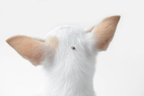 White Chihuahua with a tick crawling on its head