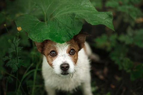 Terrier hiding under a plant leaf on a wet day