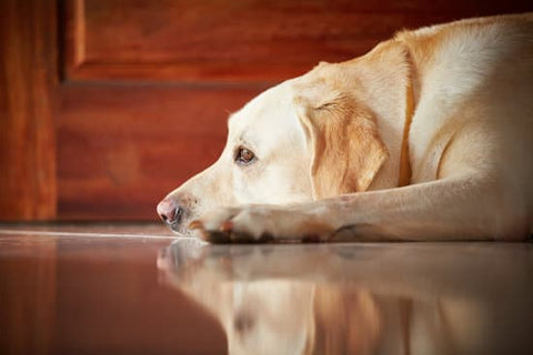 Yellow Lab Laying on the tile floor next to the door for their owner to get home