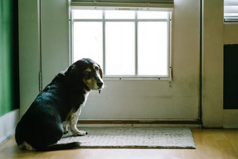 Old beagle with separation anxiety waiting for its owner to come home