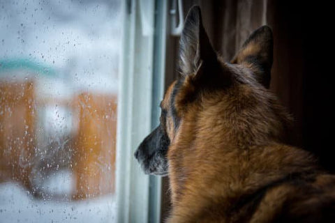 German Shepherd looking out the window for their owner