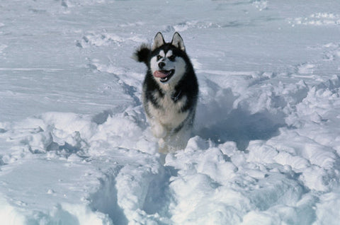 Happy Siberian Husky with its tongue out playing in the snow