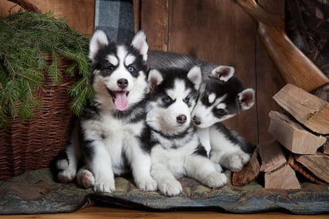Siberian Husky Puppies sitting on a blanket next to spruce wood and needles in a cabin