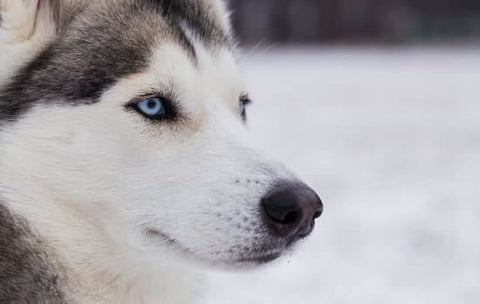 Bright blue eyed Siberian husky looking serious on a snowy day