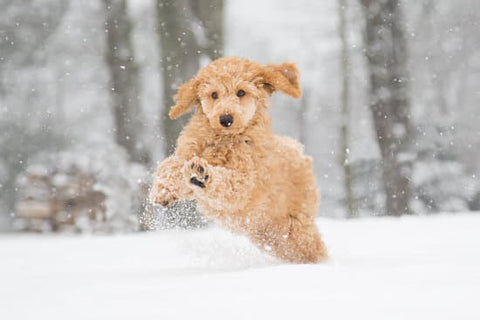 Yellow Standard Poodle playing in the snow