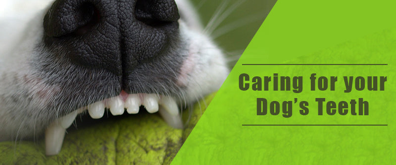 SitStay Caring for your Dog's Teeth
