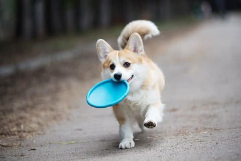 Light Colored Corgi Prancing With A Blue Frisbee In Its Mouth