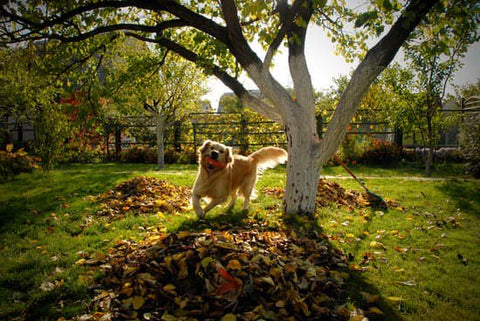 Golden retriever running in the backyard with piles of leaves around