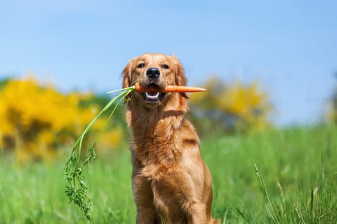 Golden retriever on a farm with a carrot in its mouth