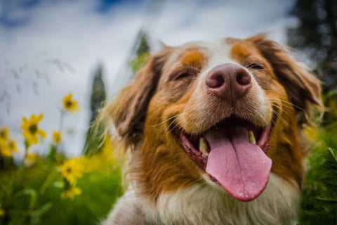 Happy Australian Shepherd in a field of flowers