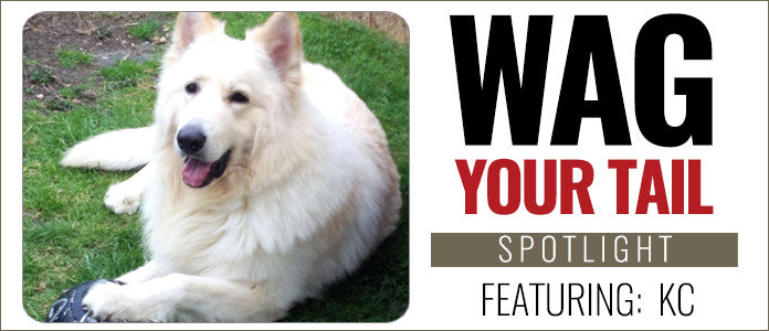 white fuzzy dog laying on the grass, with the text of wag your tail spotlight featuring KC displayed next to the dog