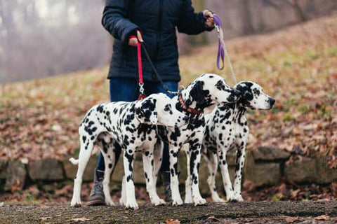 three dalmatians on a walk to the dog park on a cold fall day