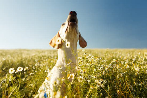 Floppy eared dog howling in a field of flowers
