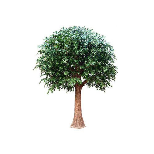 [SP] Rubber Banyan Tree 400