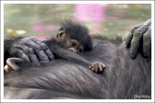 Baby chimp laying on its mothers belly