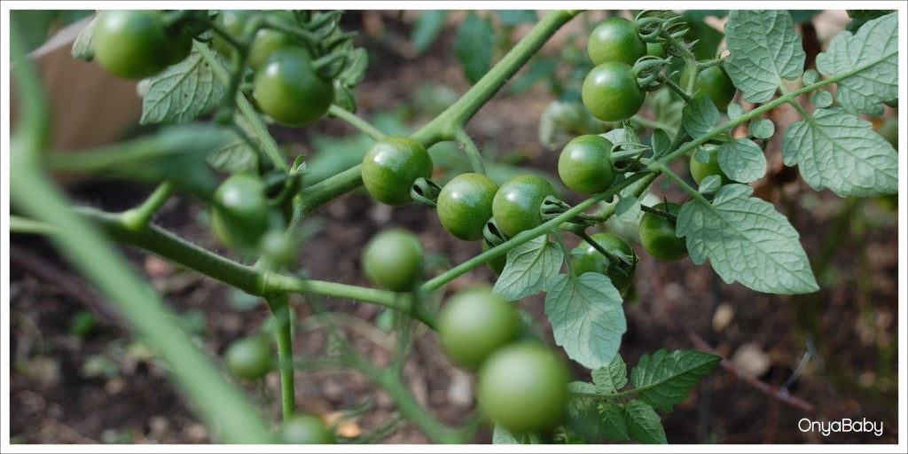 Young tomatoes growing in a garden