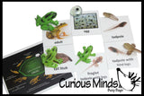Butterfly (or Frog) Life Cycle Learning Set - Animal Figures with Matching Cards - Montessori Educational Toy