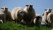 Sheeps-free-license-CC0_0
