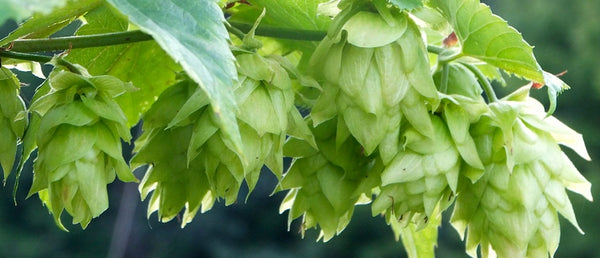 Hops growing on branches