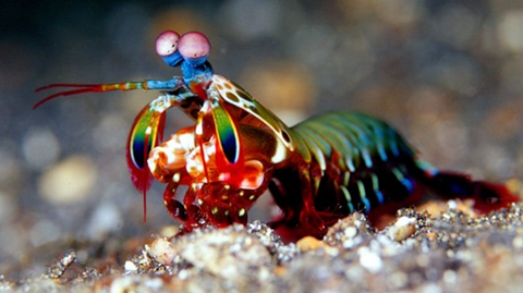 A colourful mantis shrimp