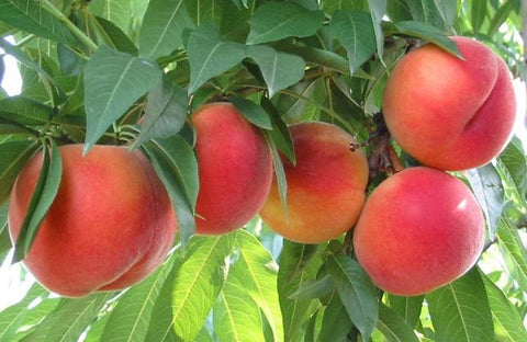 Peaches in a peach tree