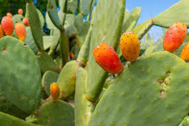 Zymotic Republic Fruit` Figs, Opuntia Ficus Indica - Zymotic