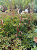 Aruncus 'Noble Spirit'