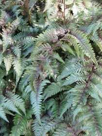 Athyrium 'Red Beauty'