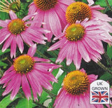 Echinacea 'Kims Knee High'