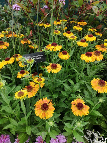 Helenium 'Short and Sassy'