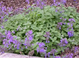 Nepeta 'Little Titch'