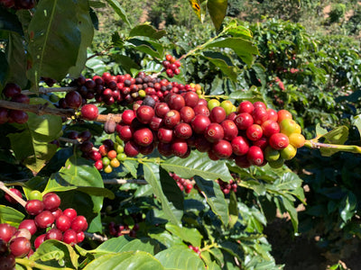 highest quality 100% Arabica