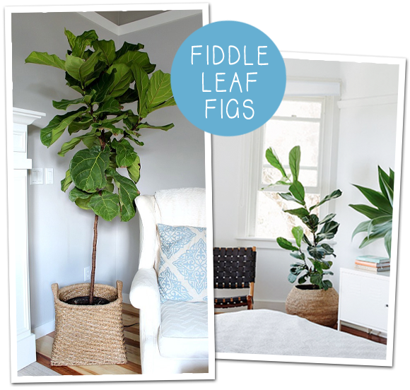 The Fiddle Leaf Fig - A lovely indoor plant