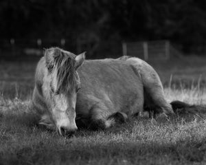 Point Reyes Morgan Horse Photograph