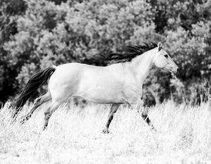 Wild horse — Black and white photograph by Cardelucci