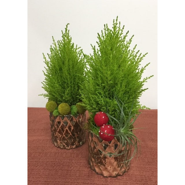 Mini Lemon Cypress Trees