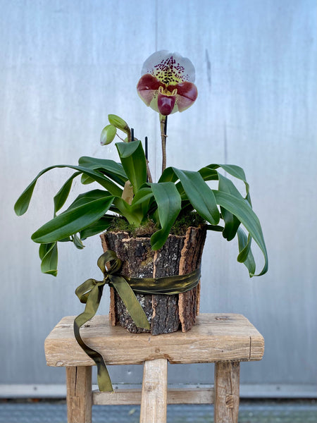 Lady Slipper orchid two stemmed
