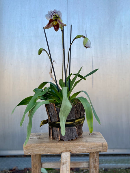 Lady Slipper orchid three stemmed