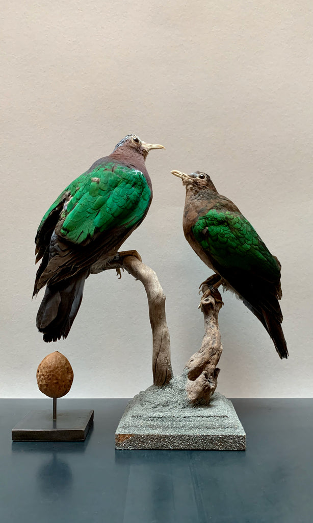 Green winged dove taxidermy