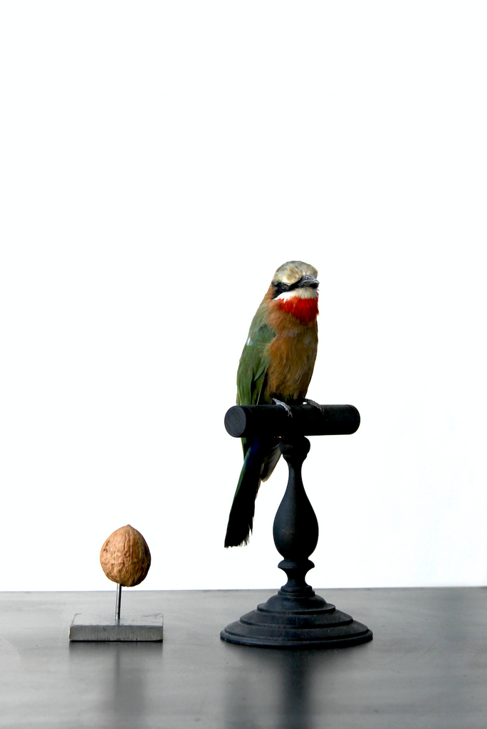 Bee eater taxidermy