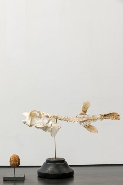 Object - Little Porcupine Fish Skeleton On Wooden Base